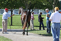 Hip #49 Smart Strike - Wile Cat colt consigned by Eaton sales being shown at the  Keeneland September Yearling Sale.  September 9, 2012.