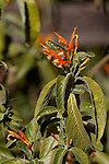 JUSTICIA SPICIGERA, MEXICAN HONEYSUCKLE OR ORANGE PLUME FLOWER