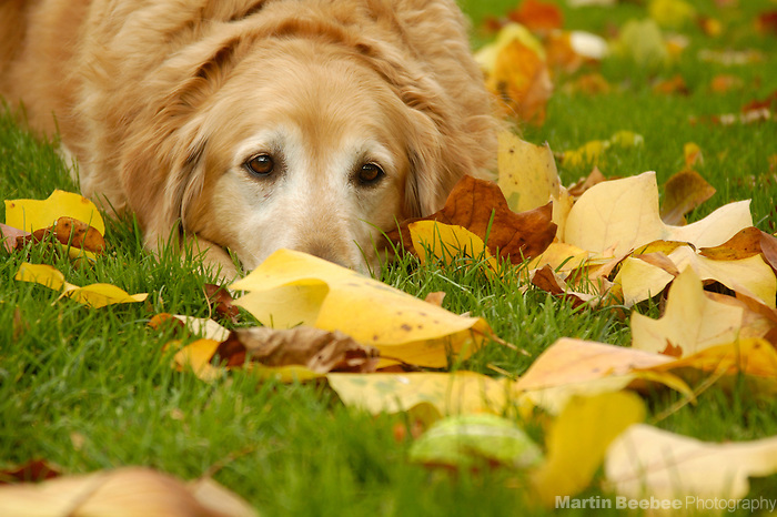 A golden retriever lies amid autumn leaves