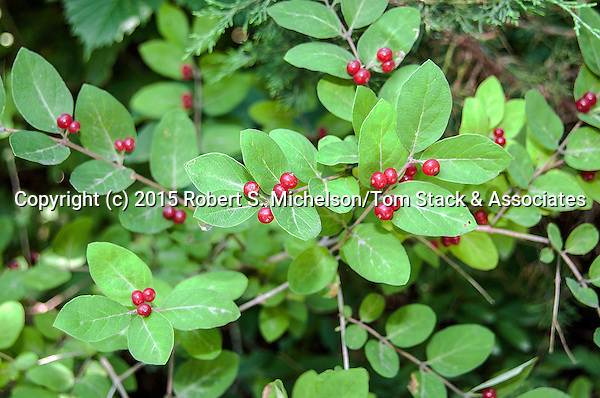 Spicebush with berries, Plymouth, Massachusetts