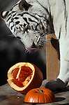 Khan, a Bengal tiger, enjoys treats during the Harvest Festival at the Animal Ark Wildlife Sanctuary in Reno, Nev., on Saturday, Oct. 21, 2011..Photo by Cathleen Allison
