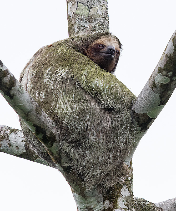 Three-toed sloths are very well camouflaged against the trunks and branches of trees.