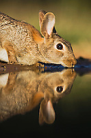 Eastern Cottontail (Sylvilagus floridanus), adult drinking, Rio Grande Valley, Texas, USA