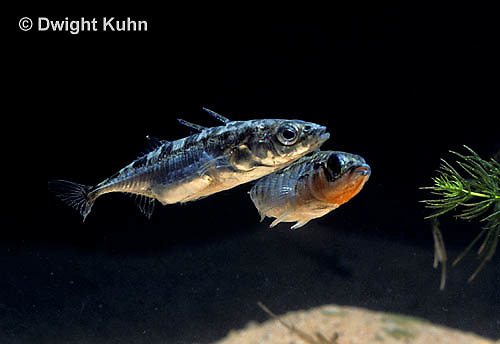 1S47-013z  Three Spined Stickleback - male courting female, her belly is full of eggs  - Gasterosteus aculeatus