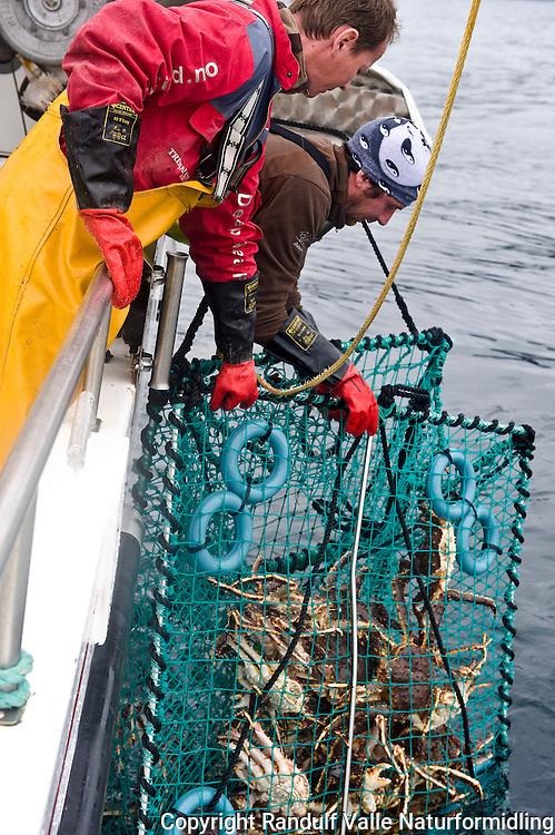 Yrkesfiskere drar krabbeteine ombord i speedsjark. ---- Fishermen on board fishing boat.