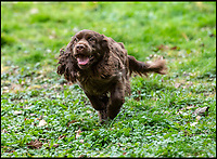 BNPS.co.uk (01202 558833)<br /> Pic: PhilYeomans/BNPS<br /> <br /> Rosie - a nine month old Sussex Spaniel could play a big role in saving her breed.<br /> <br /> Dying breed? - Shocking new figures reveal the Sussex Spaniel is now Britain's rarest breed of dog.<br /> <br /> Only 34 puppies were registered last year, as modern owners prefer labradoodles, cockapoos and French bulldogs to Britain's traditional native hounds.<br /> <br /> Now the Sussex Spaniel Association are appealing for the Duke &amp; Duchess of Sussex to adopt a puppy and popularise the struggling breed before its to late.<br /> <br /> Association secretary Sheila Applby said &lsquo;We desperately need to raise the profile of the breed before it's too late, and hopefully the Sussex link will strike a chord with the Royal couple and they can lend their considerable support to help save this wonderful and charismatic breed of dog.'