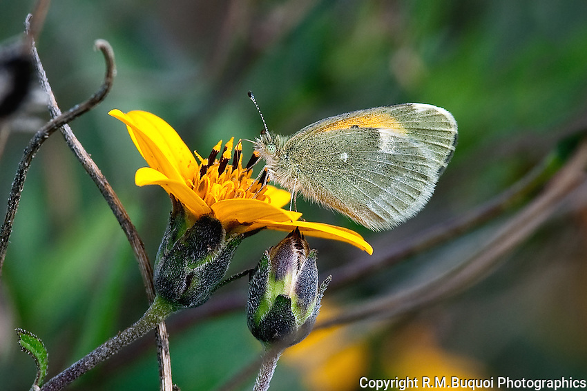 Dwarf Yellow Sulphur Butterfly
