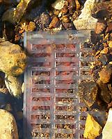 NWA Democrat-Gazette/CLAY HENRY<br /> Bonneville cutthroat eggs hatch in a Vibert-Whitlock Egg Box System in the Norfork River in 2012.