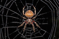 A large orb weaver spider (genus _Araneus_) sits in the center of her web, just waiting for some prey (you, perhaps?) to come along and get stuck in her web.  All eight legs, her giant abdomen, and her pedipalps are nicely visible, as is the central portion of her web.  These spiders spin their webs at dusk, hence the nighttime black background.  I love how her legs are spread out so that they connect to more than half of the major supporting strands of the web.  And yes, she was facing down, towards the ground.