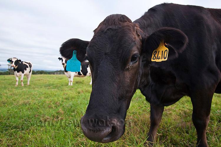 Dairy cows.  Millaa Millaa, Atherton Tablelands, Queensland, Australia