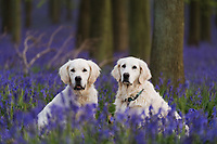 2017 04 26 Bluebells in Hertfordshire, England, UK
