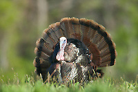 Wild Turkey (Meleagris gallopavo) - Male (tom) displaying by spreading his tail feathers, Marshlands Conservancy, Rye, New York