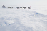 John Baker hunkers behind his sled as his team runs head-on into 25 mph winds on Norton Sound on his way to Koyuk during Iditarod 2009