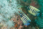 Triton Bay, West Papua, Indonesia; a pair of Six-banded Angelfish swimming amongst black corals