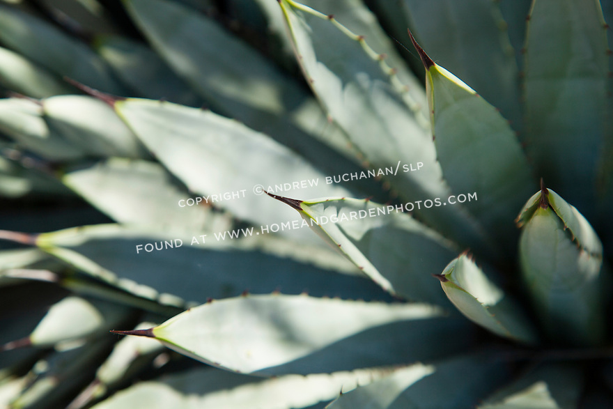 Detail of the blue-grey leaves of an agave plant at Phoenix's Desert Botanical Garden