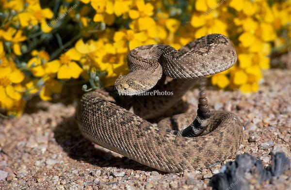 Western Diamondback Rattlesnake, Crotalus atrox; Sonoran Desert, Arizona