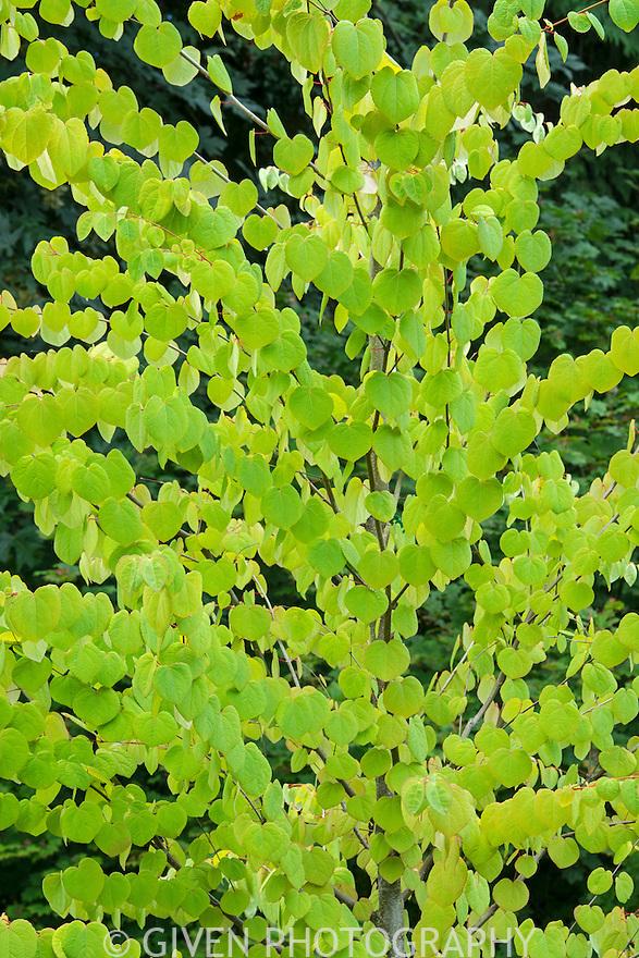 Katsura Tree in spring