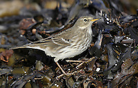 Water Pipit Anthus spinoletta (L 16-17cm) is a winter visitor to Britain and Ireland and invariably found near freshwater. During the winter months it has streaked dark buffish brown upperparts and pale underparts, streaked and flushed buffish brown on the breast and flanks; the throat is white and unmarked and the whitish supercilium contrasts with the dark eyestripe. Before birds depart in April, they usually acquire breeding plumage where the underparts become unmarked and flushed pinkish on the breast; the back is brown and the head and neck are grey. Look for Water Pipits at watercress beds and sewage works in SE England in winter.