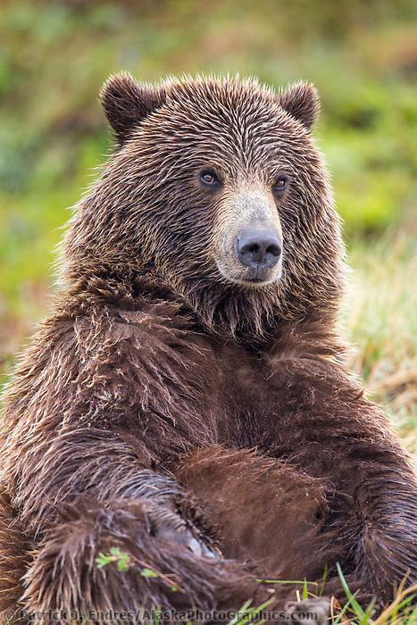 Grizzly bear on the springtime tundra in Denali National park, Alaska.