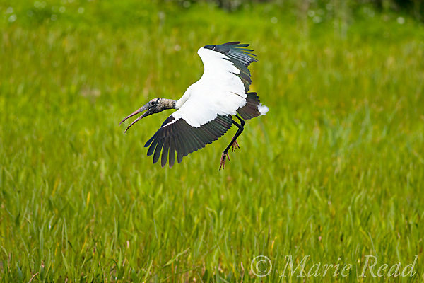 Wood Stork (Mycteria americana) with bill open in aggression as it lands, Viera, Florida, USA