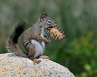 Squirrel eating a pine cone at Rocky Mountain National Park