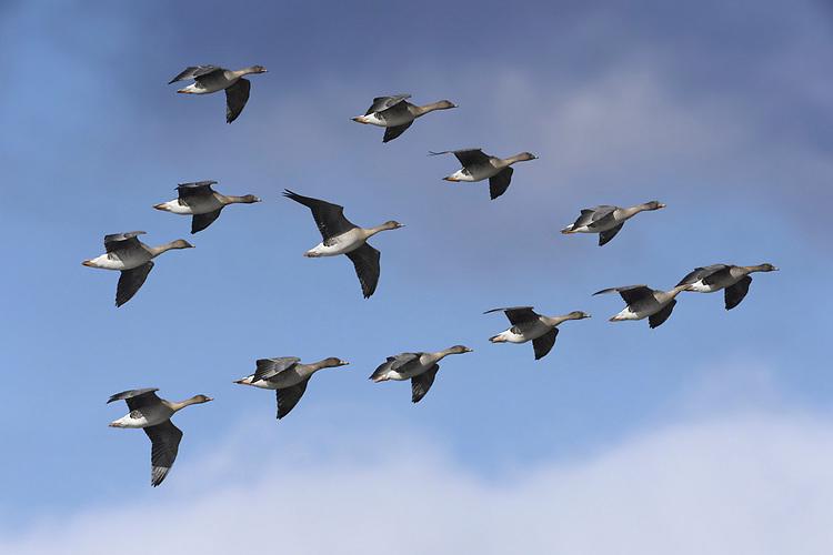 Bean Goose - Anser fabalis