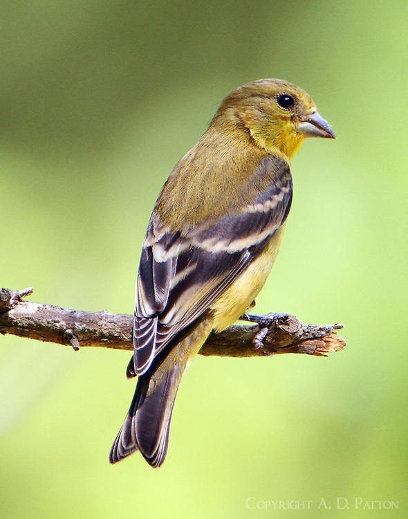 Female lesser goldfinch