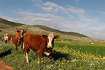 Israel, the Lower Galilee. Cattle in Beth Natofa valley.