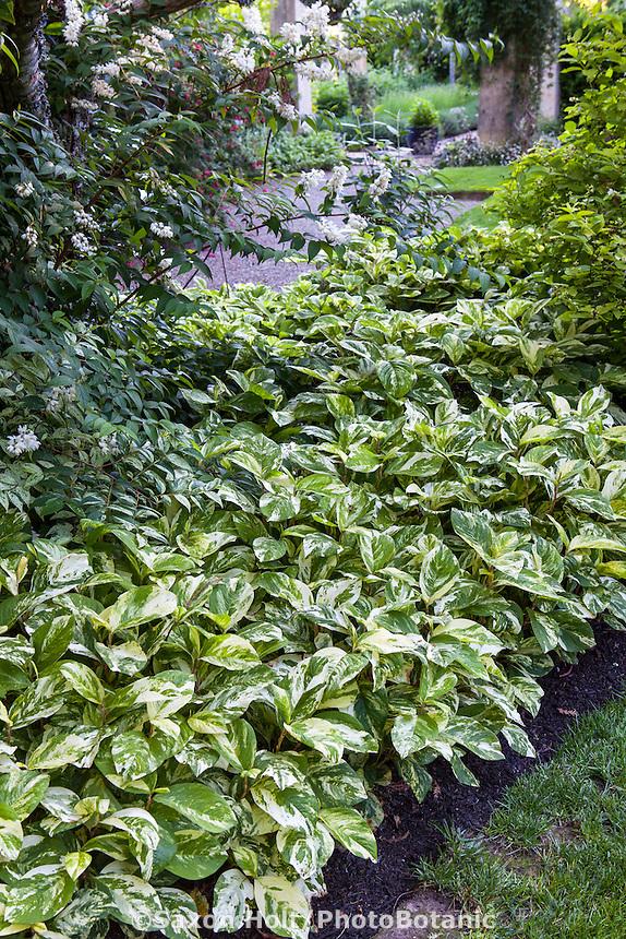 Variegated leaf foliage groundcover Persicaria virginiana 'Painter's Palette', Variegated Virginia knotweed (aka Polygonum virginianum/Tovara virginiana); Gary Ratway garden