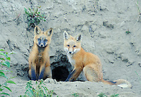 Red foxes at den entrance