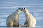 """Pictured: Two polar bears play-fight before one puts his paws up and surrenders.  The two young males were spotted grappling in Hudson Bay, Canada.<br /> <br /> Amateur photographer Hao Jiang captured the shot of the bears while visiting Churchill in Manitoba.  The 54 year old property manager, from San Francisco, California, said: """"This is not the first time I have taken photos of polar bears, but it is my first time seeing them play-fighting.  SEE OUR COPY FOR MORE DETAILS.    <br /> <br /> Please byline: Hao Jiang/Solent News<br /> <br /> © Hao Jiang/Solent News & Photo Agency<br /> UK +44 (0) 2380 458800"""