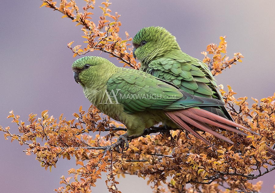 On our drive home at the end of the trip, we had a chance to stop and photograph several pairs of Austral parakeets.