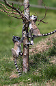 16/05/16<br /> <br /> &quot;I'll race you to the top&quot;<br /> <br /> Three baby ring-tail lemurs began climbing lessons for the first time today. The four-week-old babies, born days apart from one another, were reluctant to leave their mothers&rsquo; backs to start with but after encouragement from their doting parents they were soon scaling rocks and trees in their enclosure. One of the youngsters even swung from a branch one-handed, at Peak Wildlife Park in the Staffordshire Peak District. The lesson was brief and the adorable babies soon returned to their mums for snacks and cuddles in the sunshine.<br /> All Rights Reserved F Stop Press Ltd +44 (0)1335 418365