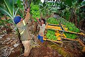 Récolte de bananes (exploitation La Ferme du Sud, Mont-Dore)