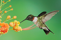 Ruby-throated Hummingbird, Archilochus colubris, male in flight feeding on Red Bird Of Paradise (Caesalpinia pulcherrima), Willacy County, Rio Grande Valley, Texas, USA