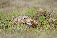 Female Spectacled Eider (Somateria spectabilis) sitting on nest. Yukon Delta National Wildlife Refuge, Alaska. June.