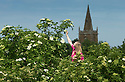 16/06/15<br /> <br /> Overlooking St. Denys Church in Eaton, Hannah Nichols-Pearce (23) starts the elderflower harvest at Belvoir Fruit Farms, Leicestershire.  Unusually cool nights in the Midlands have caused the harvest to be three weeks late and it's now a fight against time to bring in the blossoms.  The appeal of elderflower cordial has seen Belvoir's sales increase by 20 percent in the last year and the need for the family run business to invest in a &pound;4.5m state of the art factory to keep up with demand.<br /> <br /> <br /> All Rights Reserved - F Stop Press.  www.fstoppress.com. Tel: +44 (0)1335 418629 +44(0)7765 242650