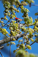 Pileated woodpecker (Dryocopus pileatus) in maple tree, Winnipeg, Manitoba, Canada