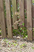 Zaun mit Igeldurchschlupf, In Lattenzaun, Zaun ausgesägtes Loch, um Igel, Igeln einen Durchschlupf zu bieten, Gartenzaun, Igelschutz, Igel-Schutz, Igelhilfe, Fence with opening, fence cut hole to offer a opening to hedgehogs, hedgehog, garden fence, Hedgehog's protection