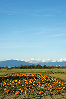 Field of pumpkins with mountains in background, Westham Island, Delta, British Columbia, Canada