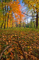 The forest at Ryerson Woods Conservation Area shows the colors of autumn in the sky and on the ground, Lake County, Illinois