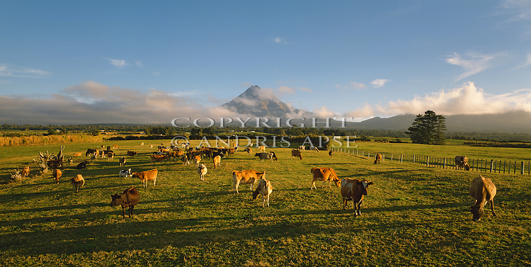 Dairy Cows at sunrise near Mount Taranaki. Taranaki Region. New Zealand.