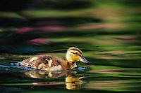 BD480 Young mallard duckling