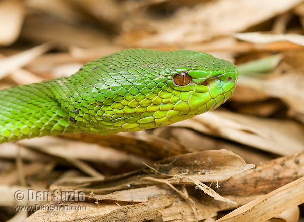 Sunda Island pitviper, Cryptelytrops insularis. The snake's heat-sensing pits are visible between the eye and the nostril. Cosidered an arboreal species throughout most of its range, but in Timor-Leste it is most often found on the ground. Baucau District of Timor-Leste (East Timor).