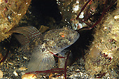 Black Goby - Gobius niger