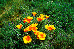 California Desert: Photo of poppy wildflowers..Photo copyright Lee Foster, www.fostertravel.com..Photo #: rvdeat104, 510/549-2202, lee@fostertravel.com