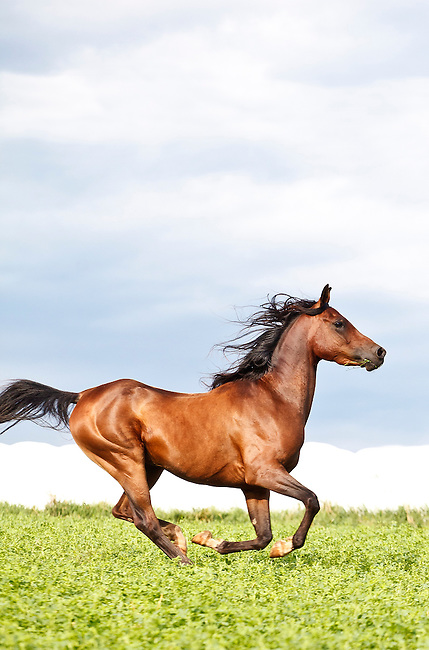 Bay Arabian horse galloping under blue sky vertical