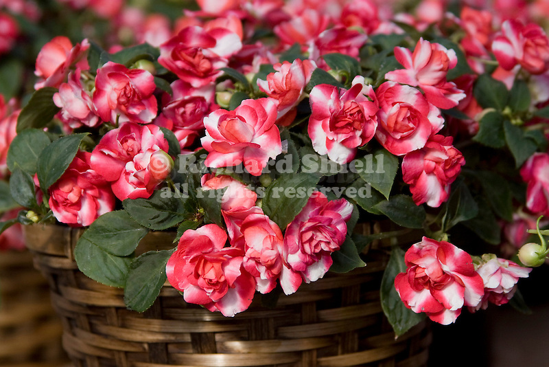 'HEARTBEAT RED BICOLOR' DOUBLE IMPATIENS HYBRID IN BASKET