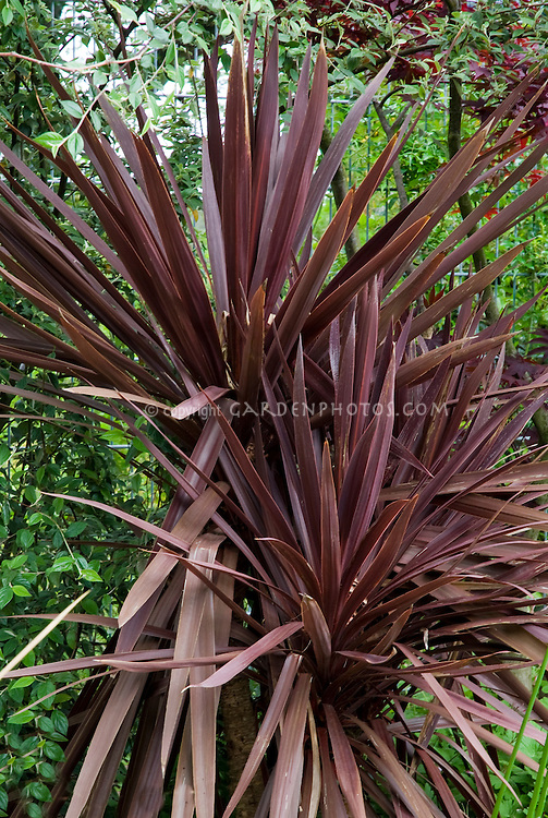 Cordyline australis 39 atropurpurea 39 plant flower stock for Spiky ornamental grass