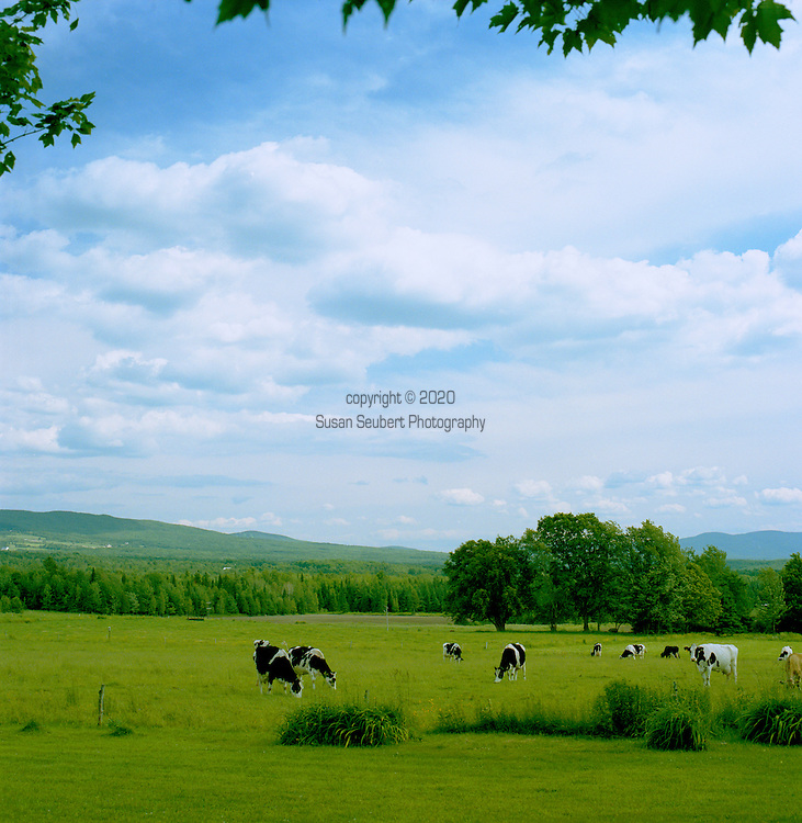 Dairy farms dot the landscape along the wine and cheese route in the Eastern Townships of Quebec.  This pastoral scene of grazing cows is near the town of Knowlton.